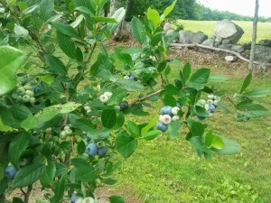 Blueberries are near Ripe
